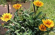ガザニア:開花最盛期