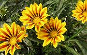 ガザニアの花の昼間の状態