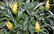 ガザニアの花の夜間の状態
