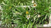 開花最盛期が過ぎたガザニア