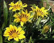 ガザニア:夏の花