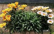 ガザニア:次々と花が咲いています