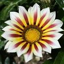 ガザニア タイガーの花1