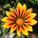 ガザニア タイガーの花2