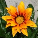 ガザニア タイガーの花3