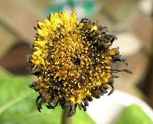 ガーベラ:できかけの花びらの褐変
