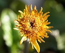ガーベラ:黄色の花が咲きました。でも…