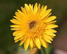 ガーベラ:ちゃんとした黄色の花が咲いた