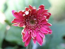 ガーベラ:再び花弁が変な花が咲く