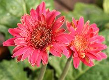 ガーベラ:正常に近い花が咲くようになってきた