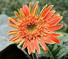 ガーベラ:オレンジ色の花の開花