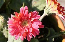 ガーベラ:秋の花