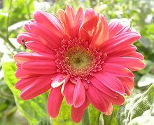 ガーベラ:後から咲いた花は正常です