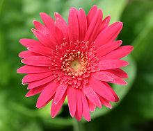 盛夏なのに綺麗な花か咲いたガーベラ
