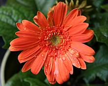 ガーベラ:オレンジ色の花が2年目も開花