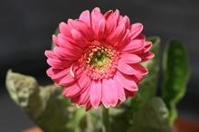 ガーベラ:開花 2011