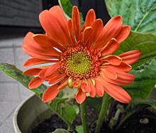 ガーベラ:オレンジ色の花の開花 2011