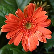 フェスティバルの花:セミダブル
