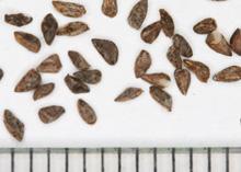 ゴデチアの種子