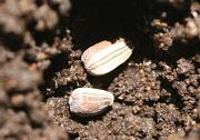 ヒマワリの栽培記録を開始しました