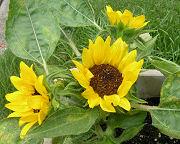 ヒマワリ:腋芽の花も開花
