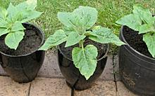 ヒマワリ:定植
