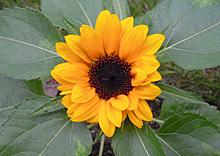 ヒマワリ:開花