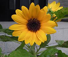 ヒマワリ:腋芽の花が開花