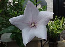 キキョウ:淡い紫色の花