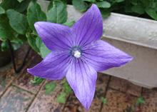 キキョウ:紫色の花