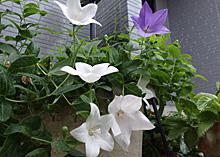 キキョウ:気温が少し下がり次々と開花を始めた