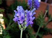 ラベンダー:12月の花