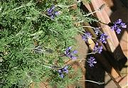 冬の間、咲き続けたラベンダー