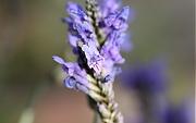 ラベンダー:1月の花