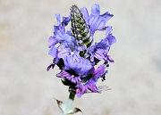 こぼれダネから育ったラベンダーが開花しました