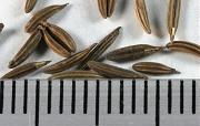 ミツバの種子