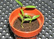 三ツ矢サーダーの栽培キットのミツバも子葉を展開し始めました