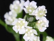 ミツバの花