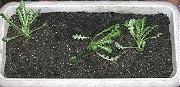 ネモフィラ:定植