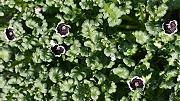 ネモフィラ:花数が増えてきた