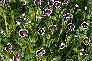 ネモフィラ:開花最盛期