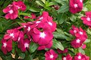 ニチニチソウ:開花最盛期