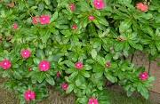ニチニチソウの11月上旬の開花状況