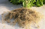 ニチニチソウ:栽培終了時の根