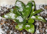 オステオスペルマムに積もる雪