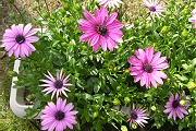 オステオスペルマム:次々と開花