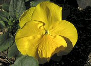 クリアタイプ 黄色