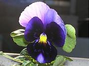 パンジー:最初の花の開花