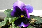 パンジー:2番目の花の開花