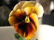 パンジー:黄色の花の開花